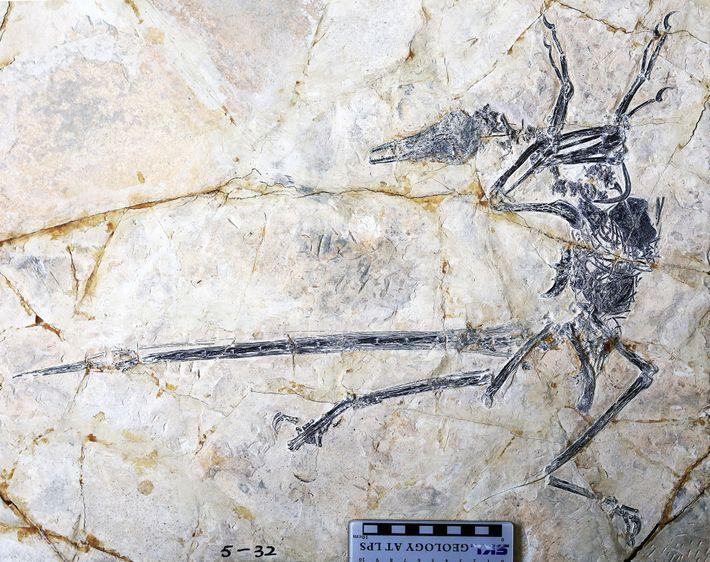 Este fósil del dinosaurio con plumas Microraptor también preserva la última comida del animal: un lagarto ...