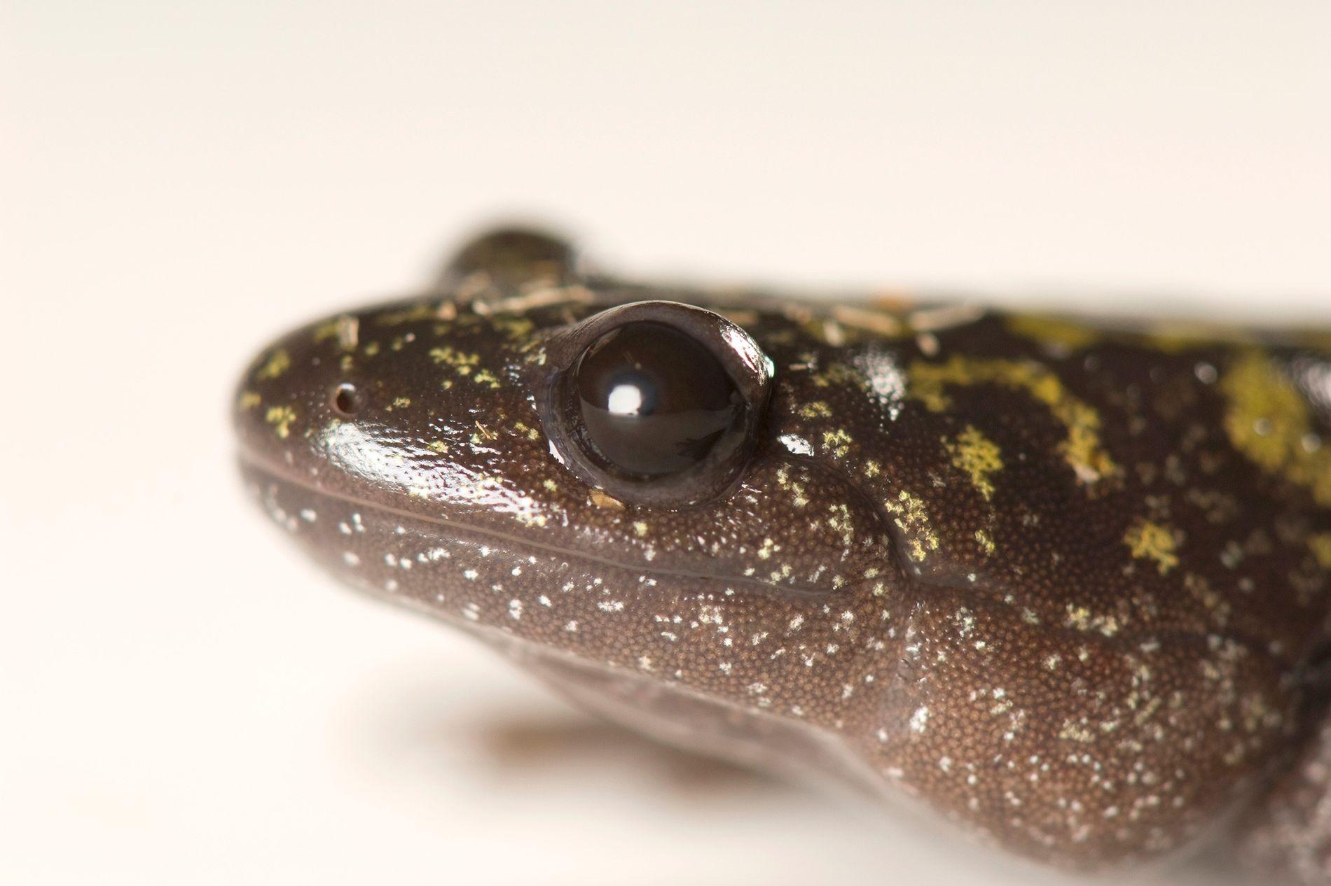 """Una salamandra de dedos largos (""""Ambystoma macrodactylum"""") fotografiada en el condado de Deschutes, Oregón. En su ..."""