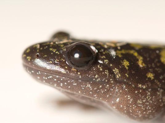 Las larvas de estos anfibios cambian de forma y se hacen caníbales para sobrevivir