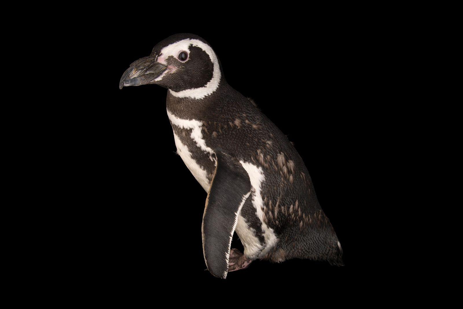 Los pingüinos de Magallanes están entre las muchas especies de pingüinos que enfrentan grandes amenazas a ...