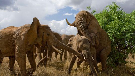 Interponiendo a una pequeña cría, los elefantes hembra bloquean a un macho que intenta aparearse, Reserva ...