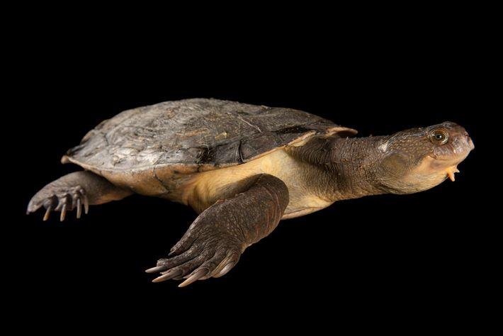 Fuera de las aguas turbias y salvajes, la tortuga del Río Mary Elusor macrurus no tiene ...