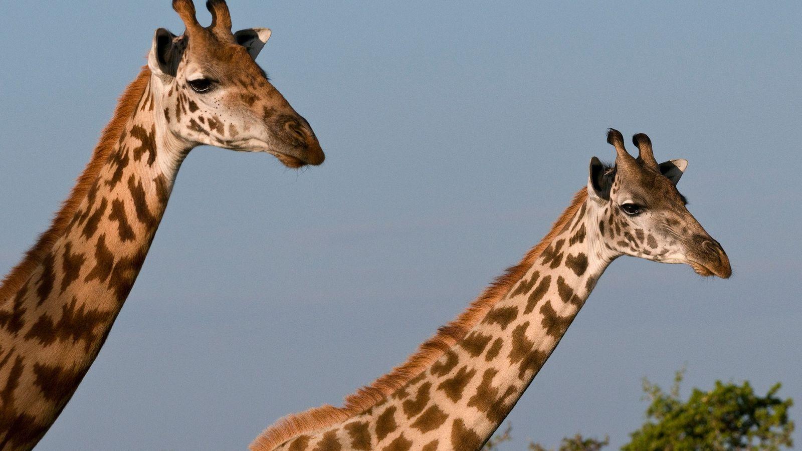 En la actualidad, quedan solo 35.000 jirafas masái en su hábitat natural. Su población ha descendido ...