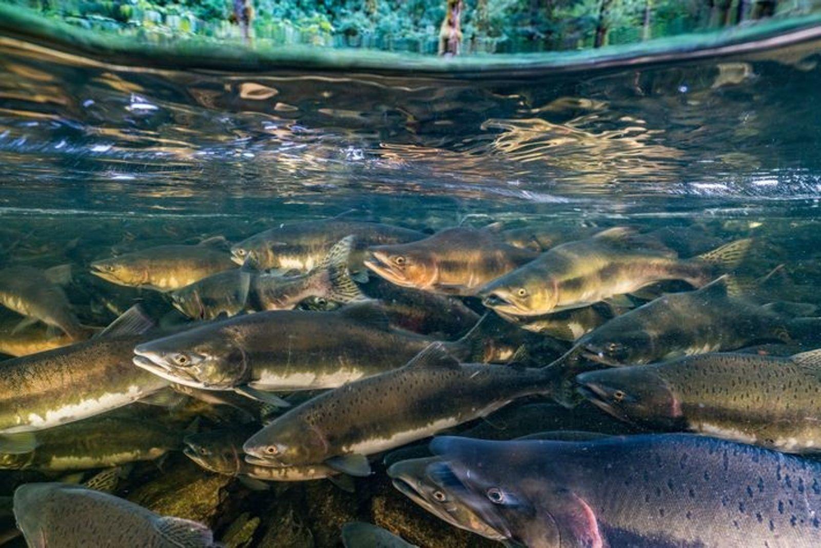 Las poblaciones de muchas especies de peces de agua dulce han disminuido un 76 por ciento ...