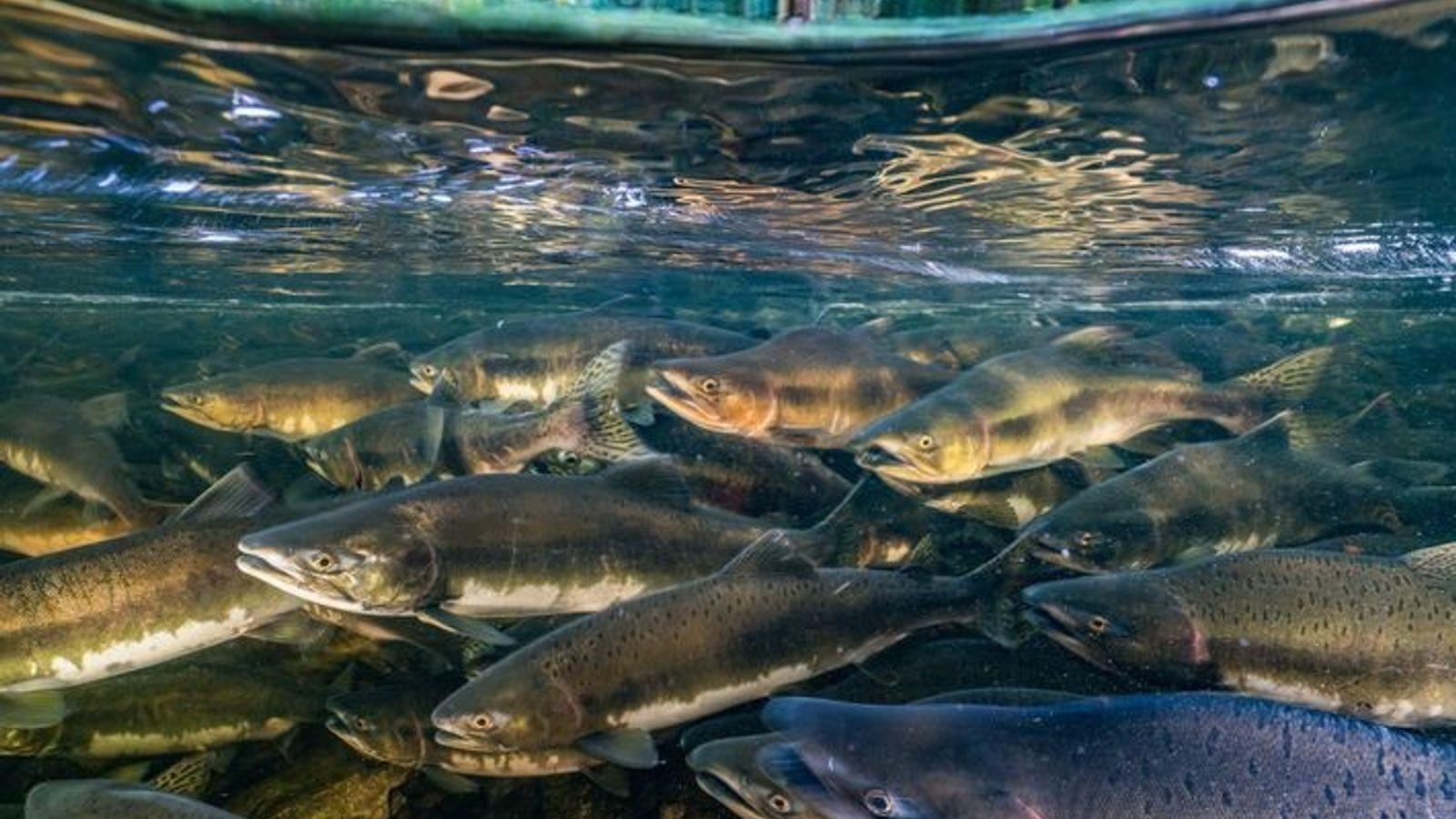 Como muchos peces migratorios, el salmón real (Oncorhynchus tshawytscha) está amenazado por la sobrepesca, la degradación ...