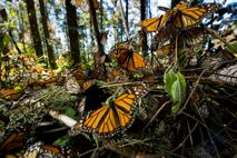 Un nuevo estudio reveló que las alas de la monarca han ido aumentando de tamaño, posiblemente ...