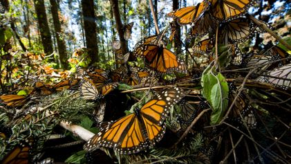 ¿Por qué las mariposas monarca están desapareciendo tan rápido?