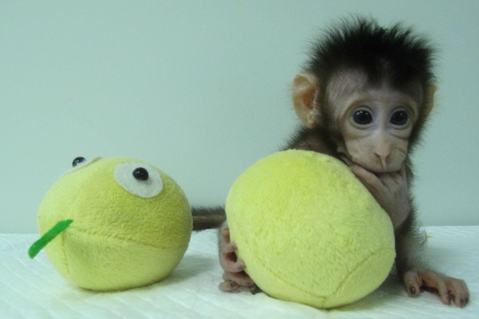 Ésta es una fotografía de Hua Hua, uno de los primeros clones de mono obtenido de ...
