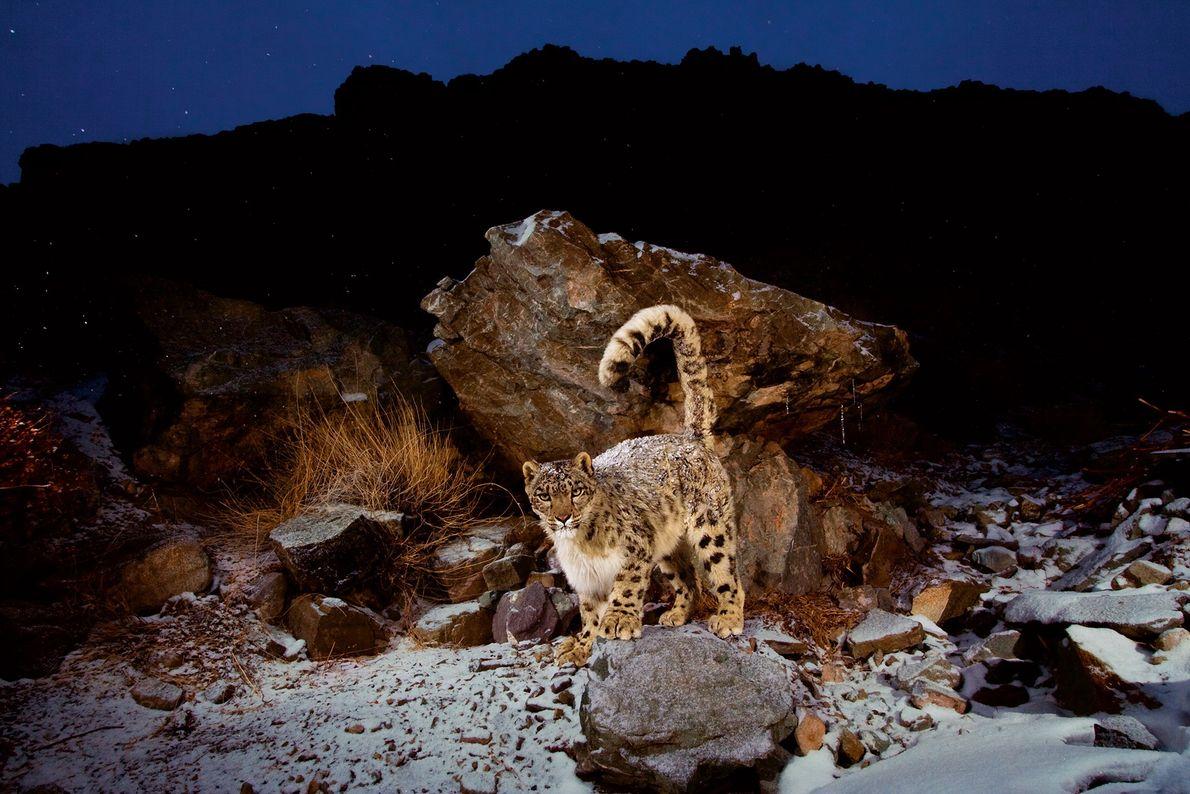 Un leopardo de las nieves cubierto de nieve en el parque nacional de Hemis, en India, ...