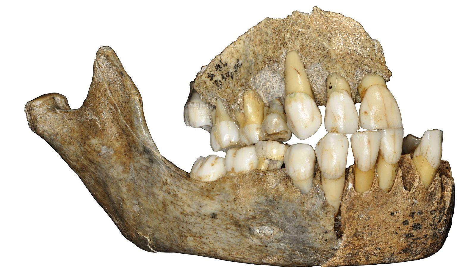 Los restos de ADN provenientes de la mandíbula de un hombre de Neandertal, hallado en Bélgica, ...