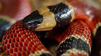 Descubren una nueva especie de serpiente en el estómago de otra