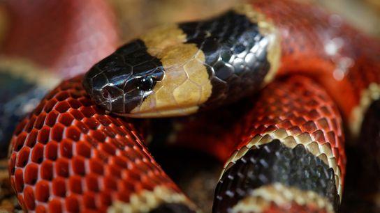 """La serpiente de coral centroamericana (""""Micrurus nigrocinctus"""") suele comer serpientes más pequeñas, entre ellas, una nueva ..."""