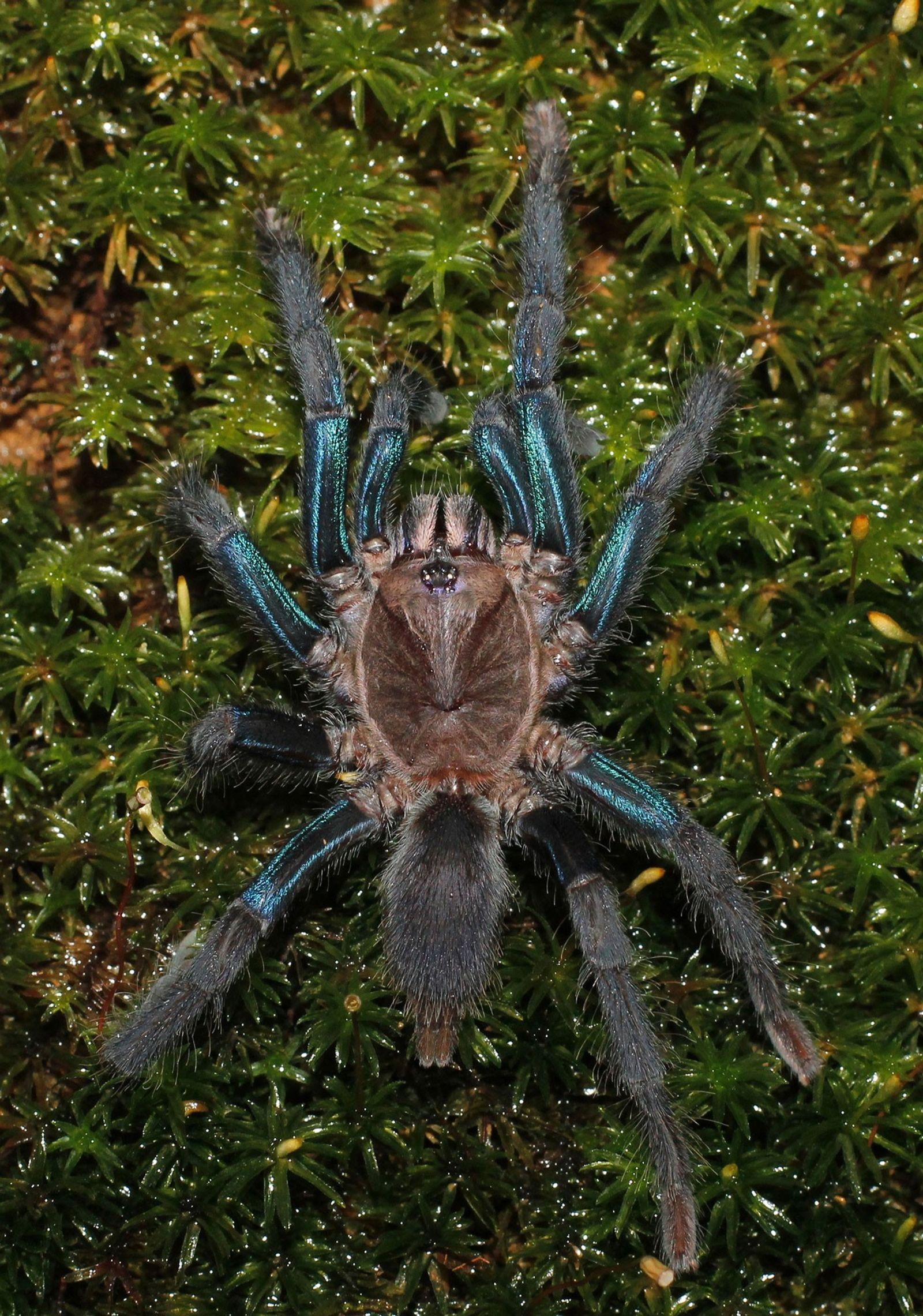 Las hembras de la especie que se acaba de descubrir son de un color azul intenso, ...