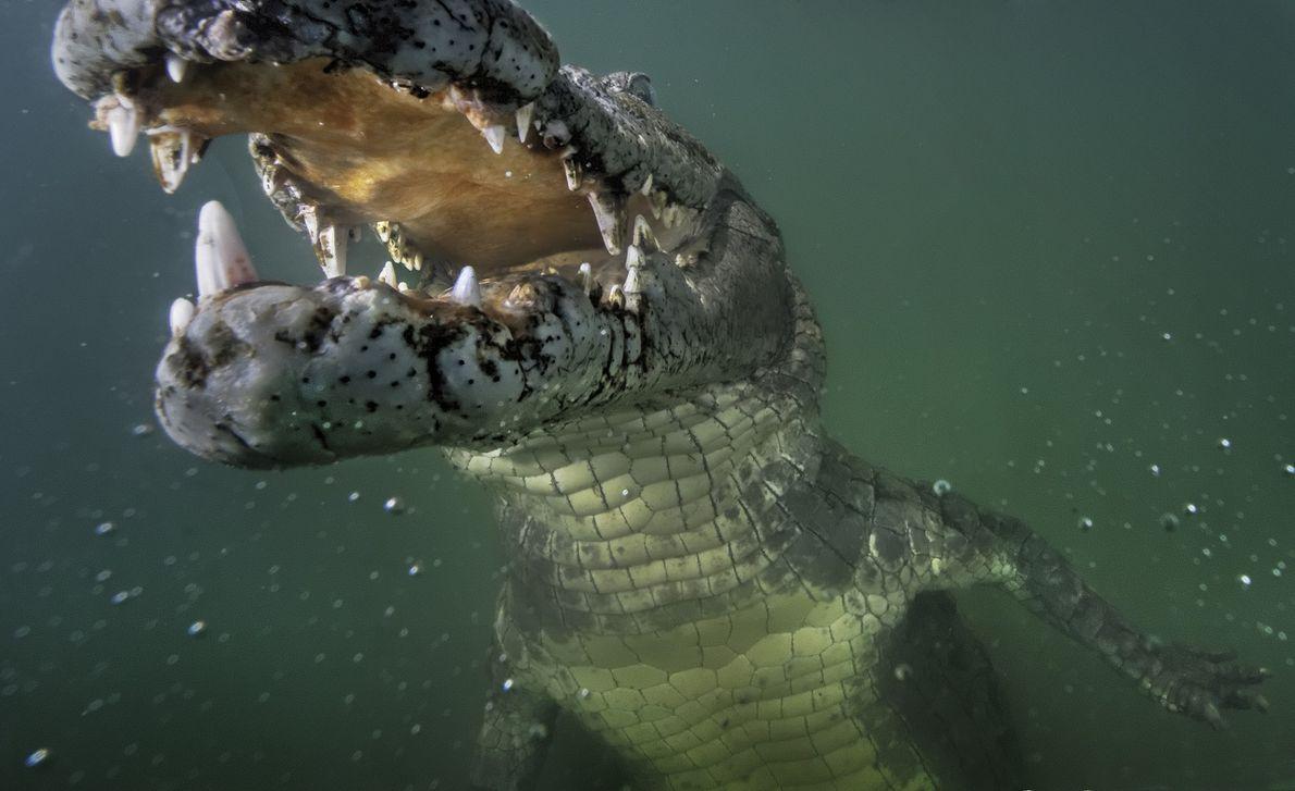 Un cocodrilo del Nilo curioso inspecciona una cámara remota en el lago Turkana, Kenia.
