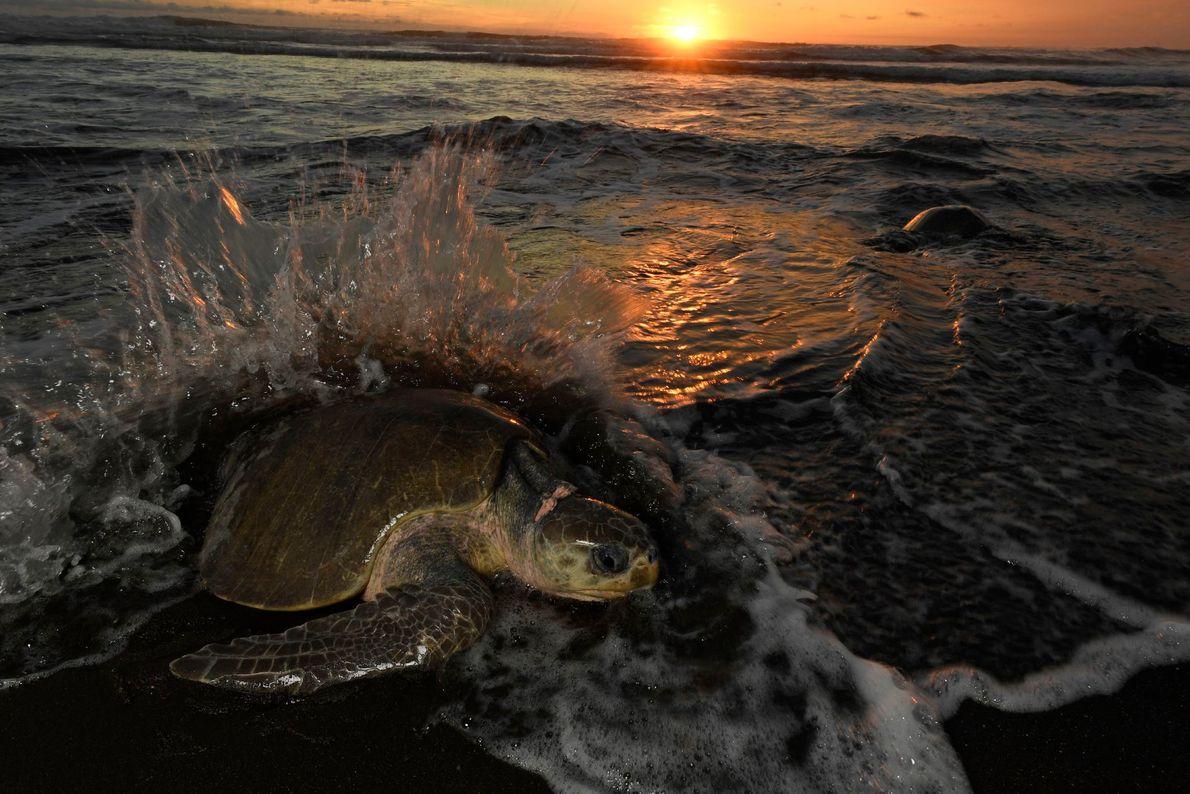 Las tortugas oliváceas hembra salen al mismo tiempo cada mes para poner huevos, normalmente una semana ...