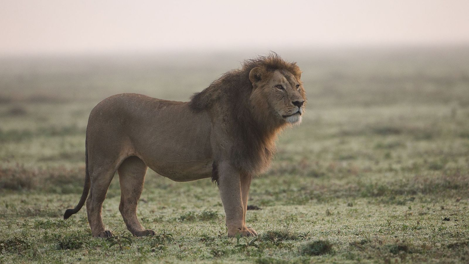 Los leones africanos son asesinados cada vez más por sus dientes y garras, probablemente para convertirse ...