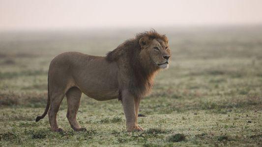 A medida que los tigres desaparecen, los leones se convierten en el blanco de los cazadores ...