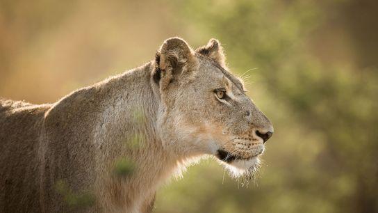 Los leones están cada vez más amenazados debido a la demanda creciente por sus garras, dientes, ...