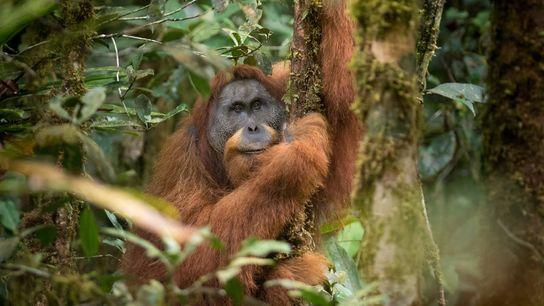 El orangután de Tapanuli de Sumatra es una especie de gran simio descubierta en el 2017. ...