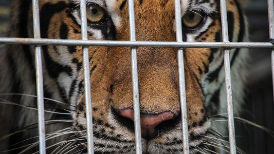 """Exclusivo: Las """"granjas de tigres"""" abastecen el comercio ilegal de este animal en Asia"""