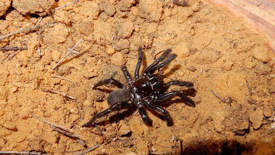 Número 16, una araña de la especie 'Giaus villosus', había sido estudiada en Australia desde 1974. ...