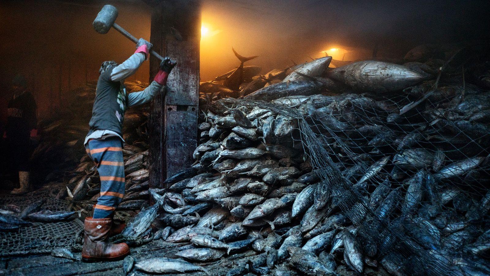Un trabajador usa una maza para sacar atún congelado de un buque carguero chino que atracó ...