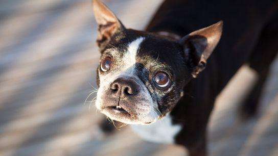 Un anciano Boston Terrier mira a la cámara. Por tantos siglos de domesticación, los perros están ...