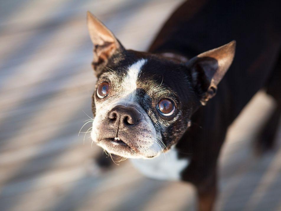 Si estás estresado crónicamente, tu perro también podría estarlo