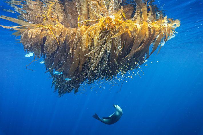 Un lobo marino de California caza peces entre el kelp de Cortes Bank, un monte marino ...