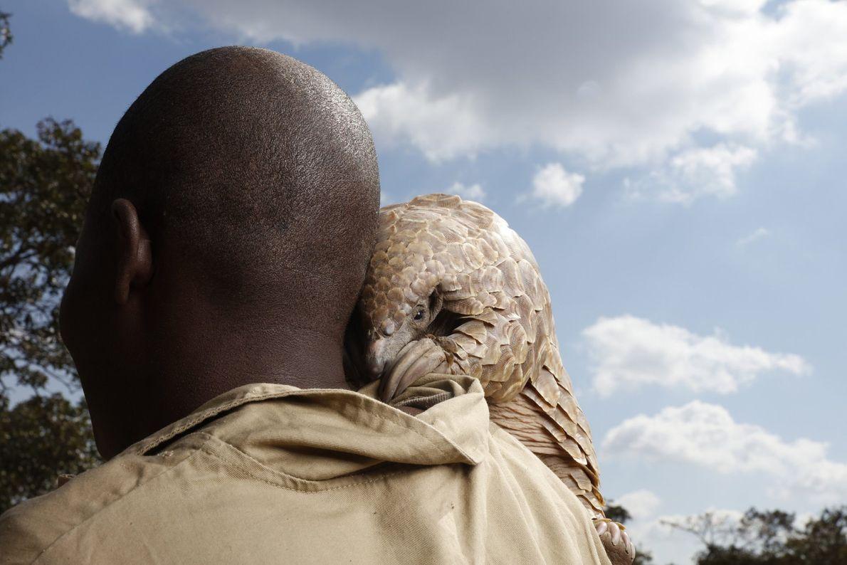 Un pangolín rescatado de los cazadores furtivos mira por encima del hombro de su cuidador en ...