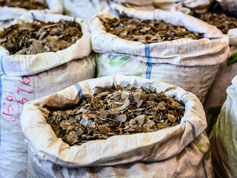 El comercio ilegal de pangolines sigue creciendo a medida que se expanden las redes criminales