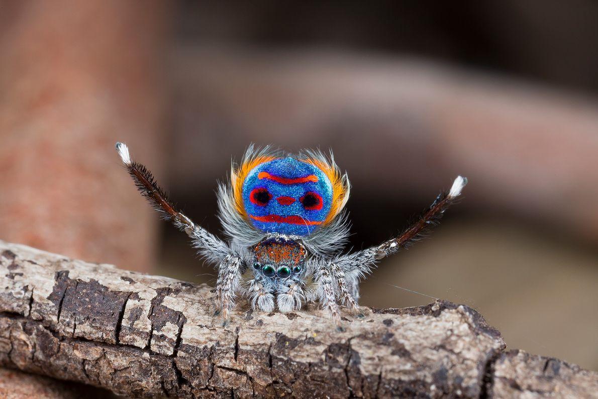 """Una araña pavo real macho (""""Maratus speciosus"""") muestra sus deslumbrantes colores durante un acto de cortejo."""