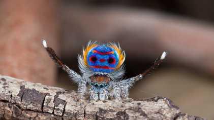 Las arañas pavo real atraen a las hembras con ilusiones ópticas. ¿Cómo lo hacen?