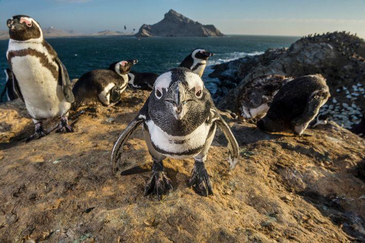 Pingüinos africanos en Mercury Island, Namibia. Los pingüinos africanos cazan bancos de peces en grupo, maximizando ...