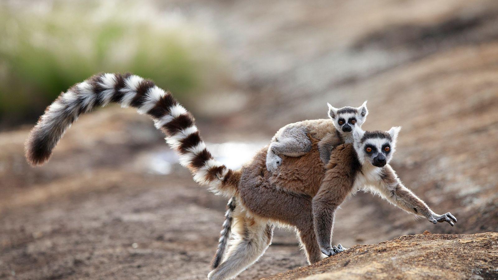 Los lémures de cola anillada macho emiten un olor corporal seductor hacia las hembras, un fenómeno ...