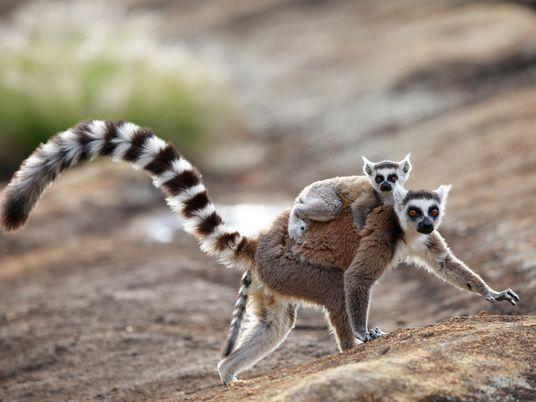 El poder de las feromonas: de las abejas reina a los lémures