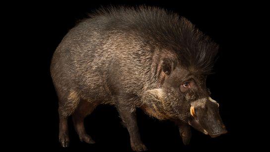 Solo hay unos 300 jabalíes de las Bisayas o cerdos verrugosos en cautividad (en la imagen, ...