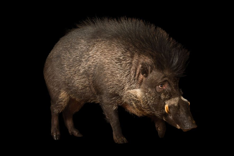 Graban por primera vez a cerdos usando herramientas
