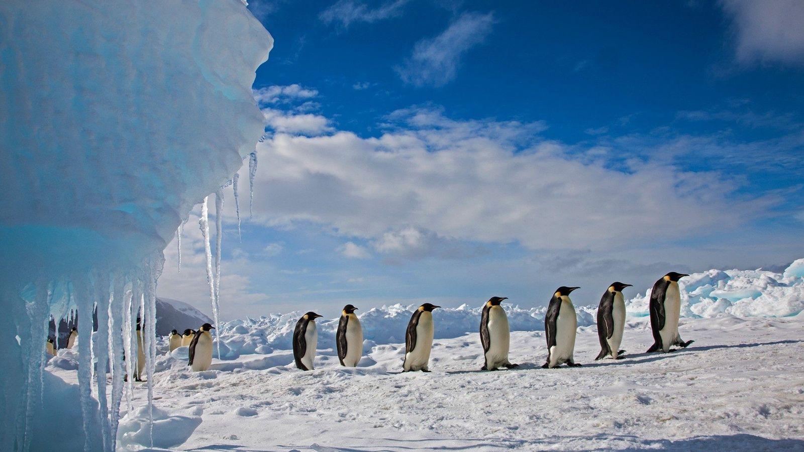 Los pingüinos emperador marchan sobre el hielo en el cabo Washington, en el mar de Ross ...