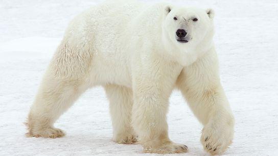Los osos polares se ven normalmente a lo largo de las costas del Ártico o en ...