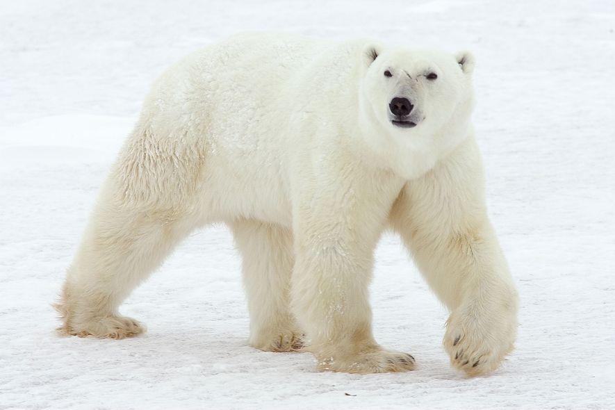Osos polares aparecen donde nunca antes habían estado