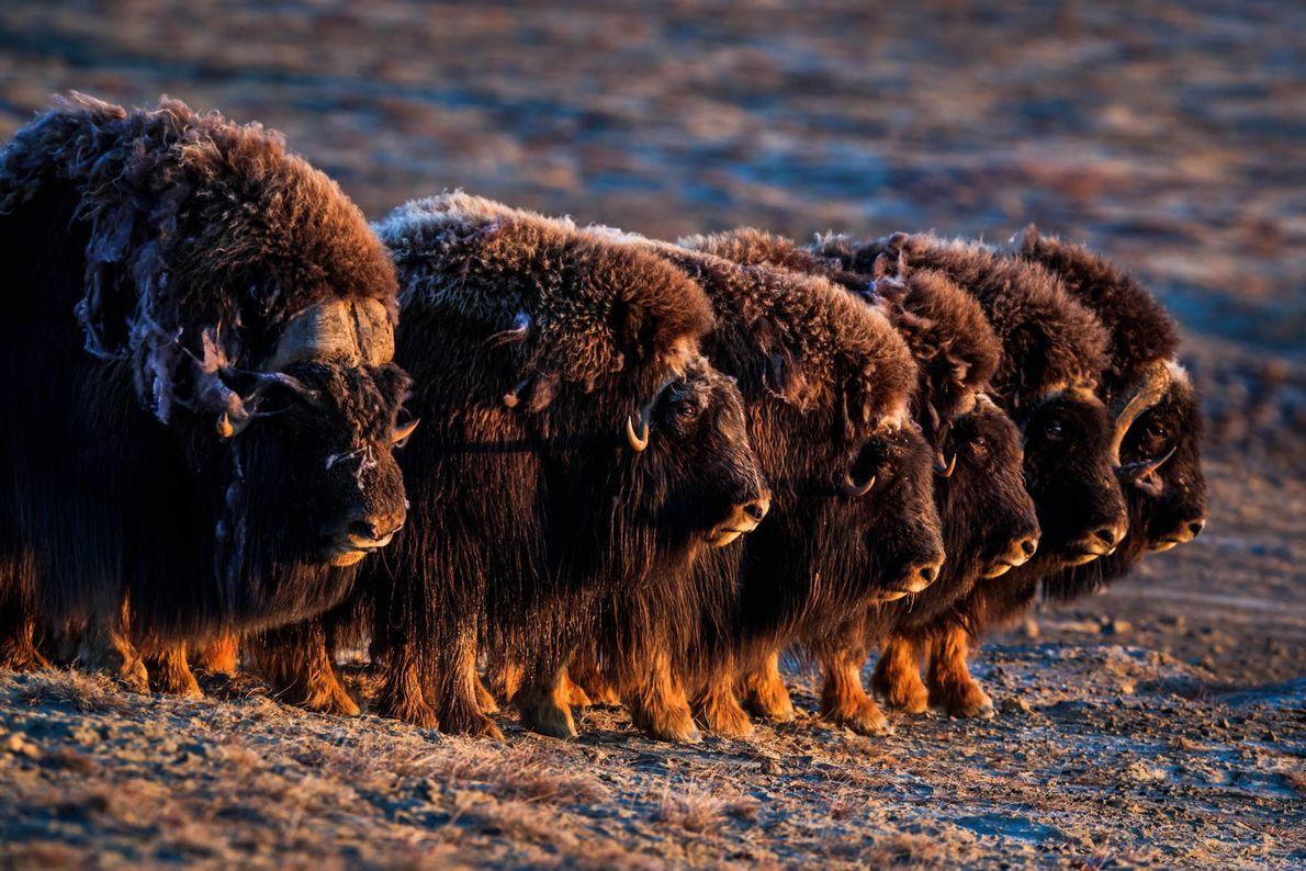 Los bueyes almizcleros, fotografiados aquí en la isla Ellesmere de Nunavut, tienen abrigos gruesos y peludos ...
