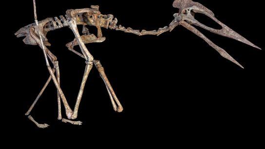 Reconstrucción del esqueleto del reptil volador conocido como Drácula, un pterosaurio azdárquido gigante descubierto en la ...