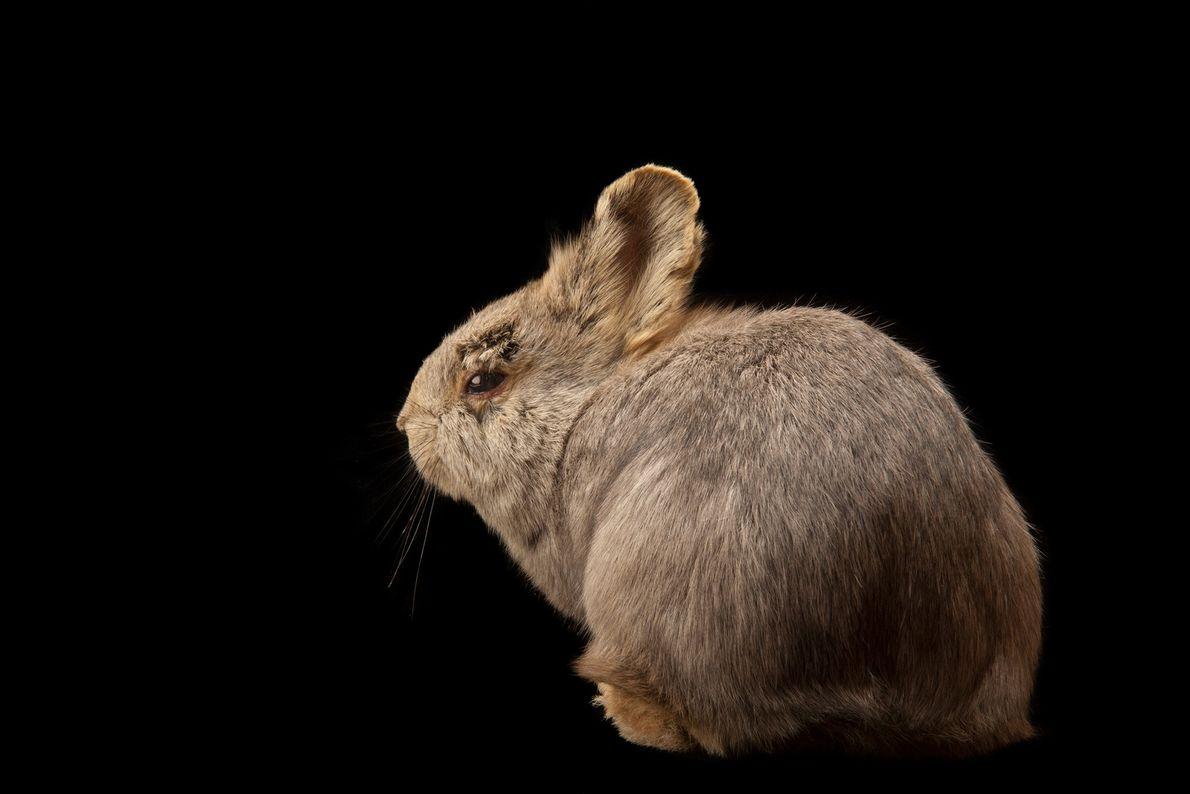 La rara hembra de la Cuenca de Columbia, el conejo pigmeo, que solía encontrarse en Washington, ...