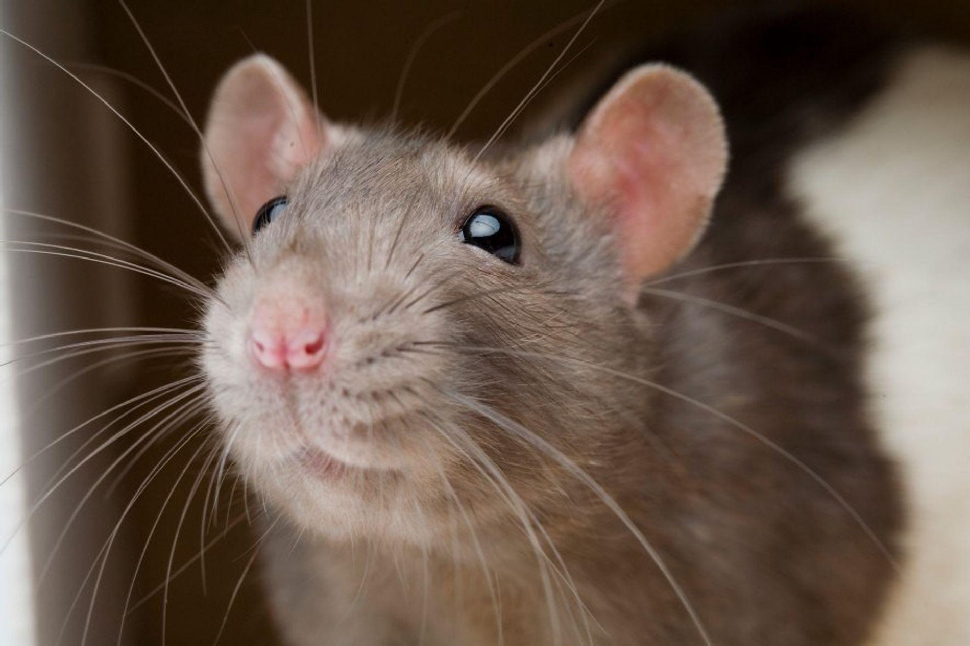 Ratas y humanos comparten la misma parte del cerebro que regula la aversión a hacer daño, ...