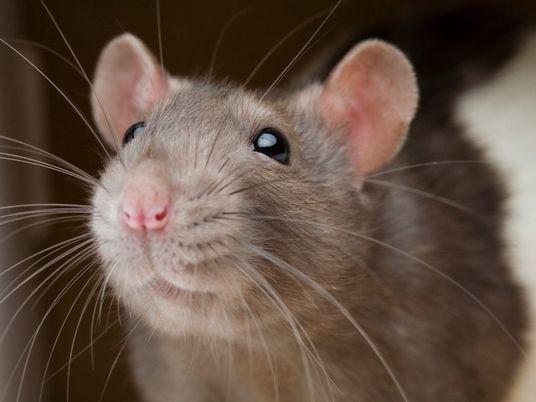 Investigaciones demuestran que las ratas evitan hacer daño a otras ratas