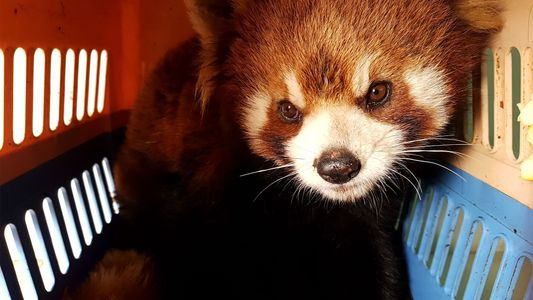 Pandas rojos: ¿las nuevas víctimas del mercado negro?