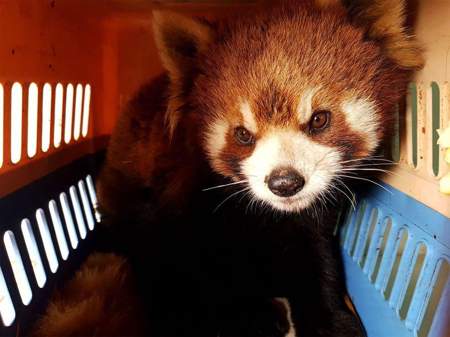 Este panda rojo y cinco más fueron rescatados, en Laos, el 13 de enero, de una ...