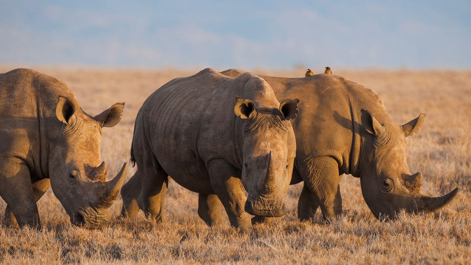 Los expertos afirman que utilizar cuerno de rinoceronte y hueso de tigre en medicina china tradicional ...