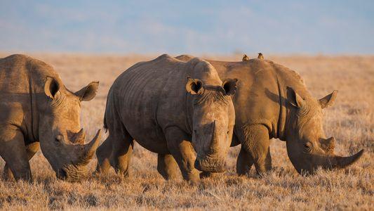 China legaliza el uso de cuerno de rinoceronte y hueso de tigre con fines medicinales